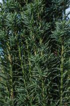 Taxus baccata \'Fastigiata\' ou if fastigié, un conifère en forme colonnaire pour les jardins même à l\'ombre.