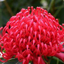 Telopea speciosissima x oreades \'Shady Lady Red\'