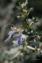 Teuchrium fructicans, arbuste persistant au feuillage gris argenté et à la floraison bleu mauve en été.