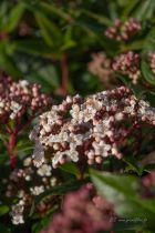 Viburnum tinus \' Gwenlian \', arbuste persistant vert et fleurs blanches en hiver.
