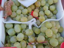 Vigne \' Italia \', fruitiers grimpant à feuille caduc vert et aux fruits blancs en automne.