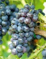 Vigne \'alvina\', fruitier grimpant à feuille caduc vert et aux fruits noir en automne.