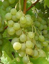 Vigne \'ampelia candin\'®, fruitiers grimpant à feuille caduc vert et aux fruits doré en été.