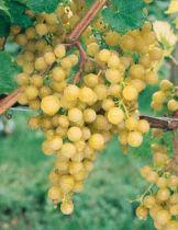 Vigne \'ampelia perdin\'®, fruitier grimpant à feuille caduc vert et aux fruits doré en été.