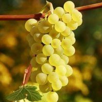 Vigne Perlette, fruitier grimpant caduc aux feuilles vertes et aux fruits blanc doré en été.