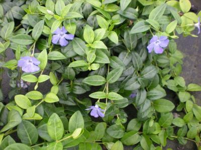 Vinca minor bleu for Soldes plantes vivaces