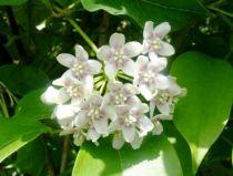 Wattakaka sinensis - Dregea sinensis