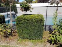 Plantes formées (topiaires) taillées