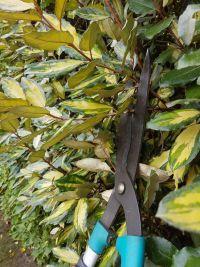 Taille des arbustes