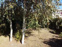 Bouleaux - Betula purpurea  - avant la taille