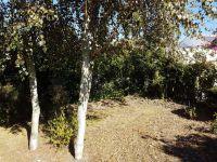 Bouleaux - Betula purpurea  - après la taille