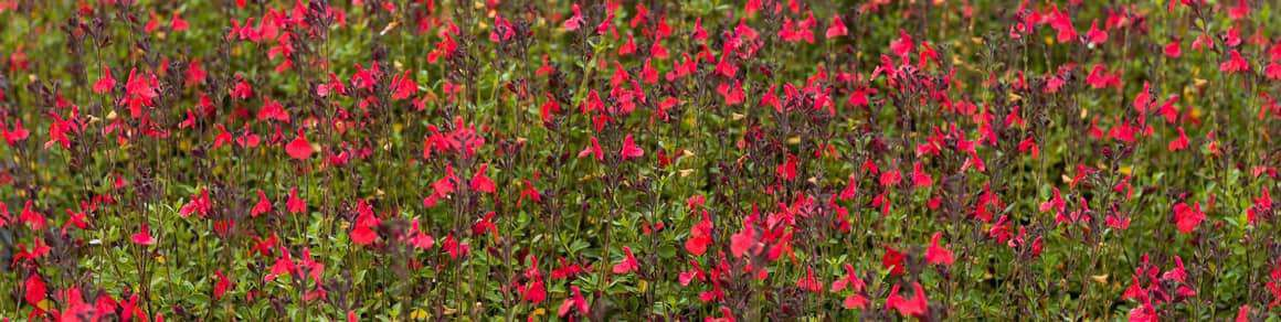 Salvia microphylla 'Suzanne'.jpg