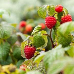 Découvrez nos petits fruits