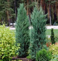 Juniperus virginiana \'Blue Arrow\'