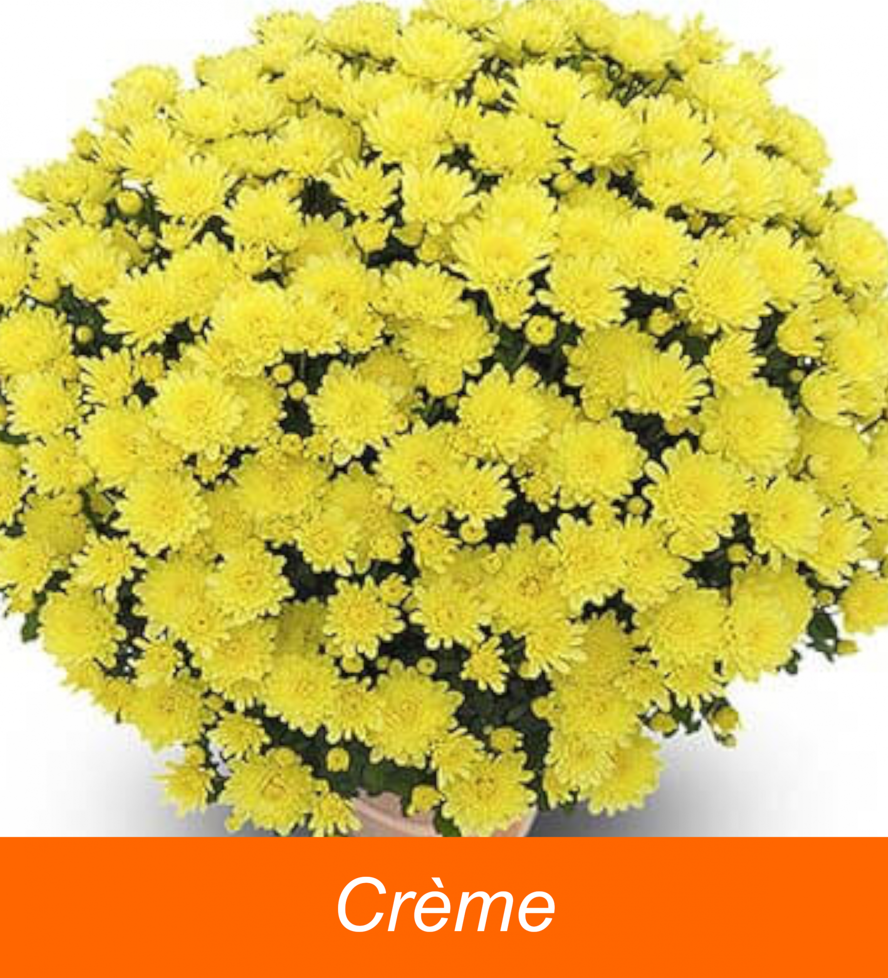 CHRYSANTHEME* Coupe 23  1 bouture