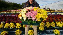 CHRYSANTHEME* jardinière 50cm 5bt Multifleurs
