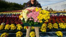 CHRYSANTHEME* jardinière 40cm 3bt Multifleurs