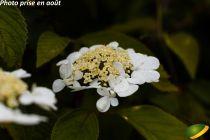 Viburnum plicatum lanarth.jpg