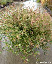 Abelia chinensis \'Variegata\'
