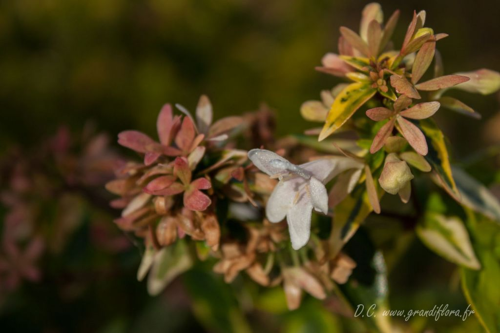 Abelia x grandiflora \' Kaleidoscope \'