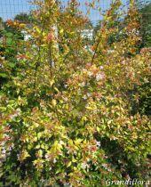 Abelia x grandiflora \'Francis Masson\'