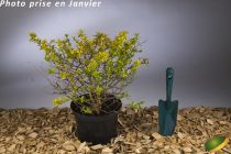 Abelia x grandiflora \'Kaleidoscope\'