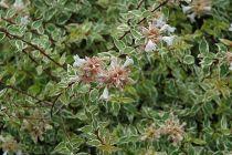Abelia x grandiflora \'Radiance\'