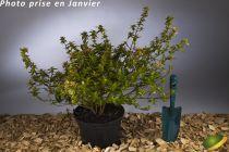 Abelia x grandiflora \'Sherwood\'