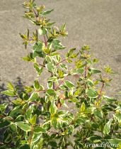 Abelia x grandiflora \'Sparkling Silver\'