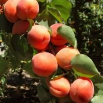 Abricotier \'Bergarouge Avirine\' ®, arbre fruitier caduc à feuille verte et aux fruits de couleur orange en été.
