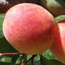 Abricotier \'Bergeron\', arbre fruitier caduc à feuilles vertes et aux fruits jaune orangé en été.