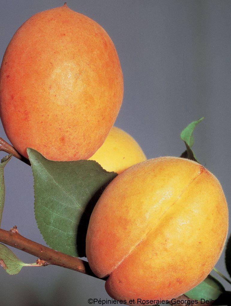 Abricotier \'Doucoeur\'® anderheart - Prunus* armeniaca