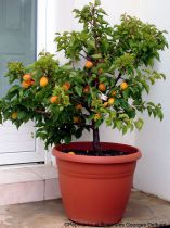 Abricotier \'Garden Aprigold\'® - Prunus* armeniaca