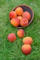 Abricotier \'Rouge Tardif Delbard\'® delmast - Prunus* armeniaca