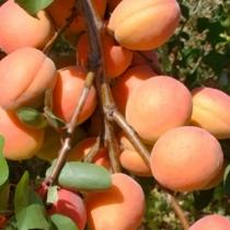 Abricotier \'Royal Roussillon\' ®, Arbre fruitier caduc à feuille verte et aux fruits jaune orangé en été.