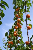 Abricotier \'Rustique des Pyrénées\'® bourqui - Prunus* armeniaca