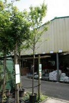 Acer campestris