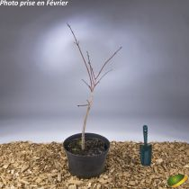 Acer japonicum \'Aconitifolium\'
