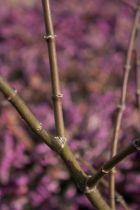 Acer palmatum \' Aka shigitatsu sawa \'