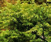Acer palmatum \' Aoyagi \'