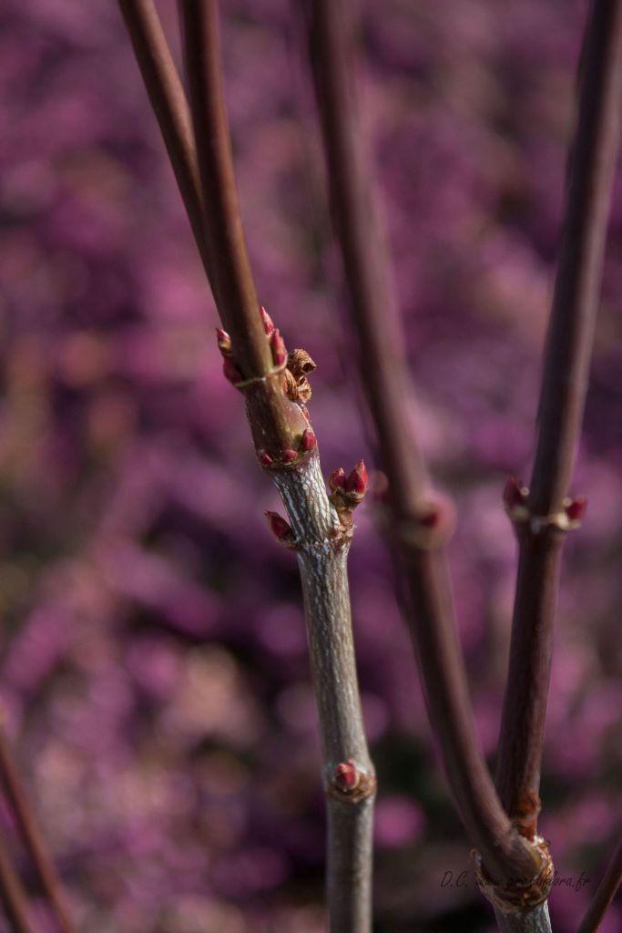 Acer palmatum \' Atropurpureum