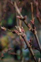 Acer palmatum \' Beni kagami \'