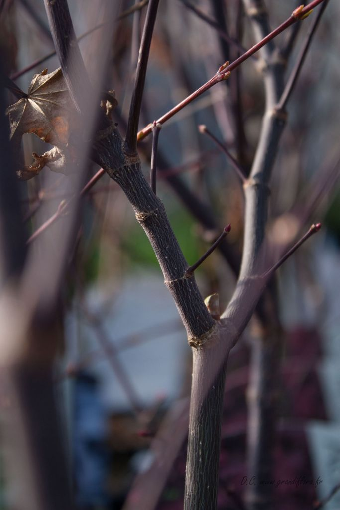Acer palmatum \' Bloodgood \'