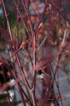 Acer palmatum \' Katsura \'