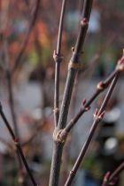 Acer palmatum \' Marjan \'