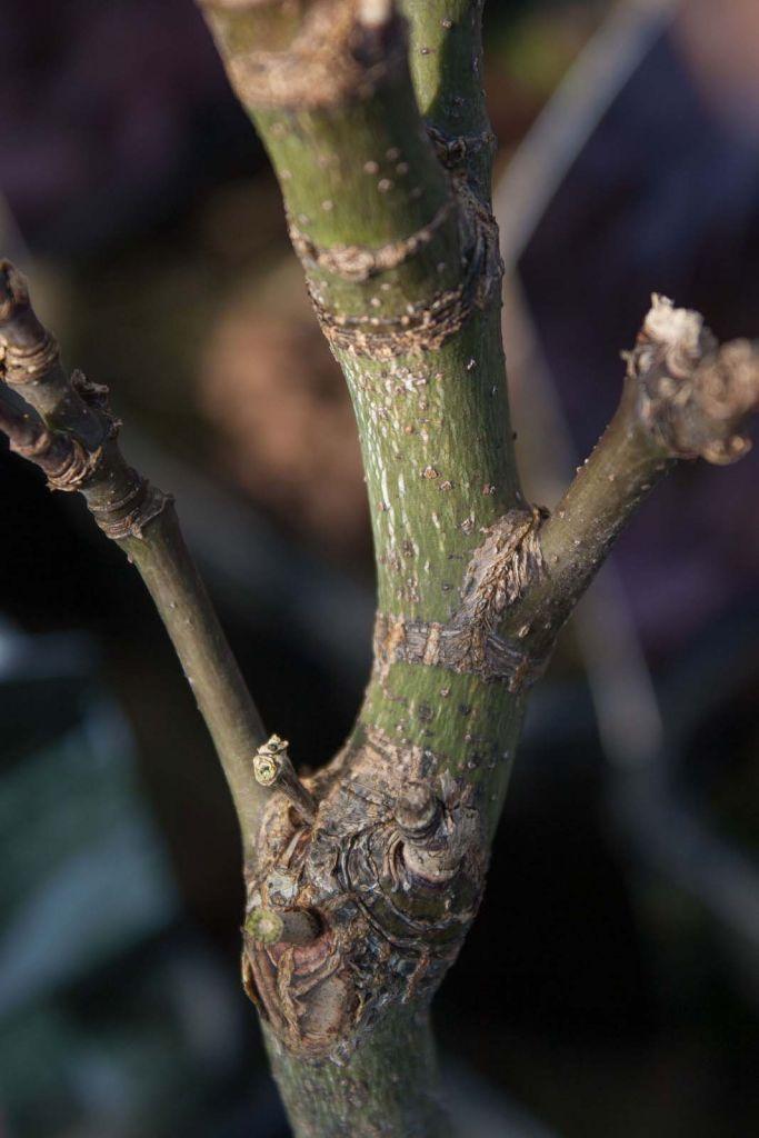 Acer palmatum \' Osakazuki \'