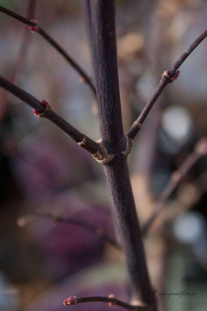 Acer palmatum \' Pixie \'