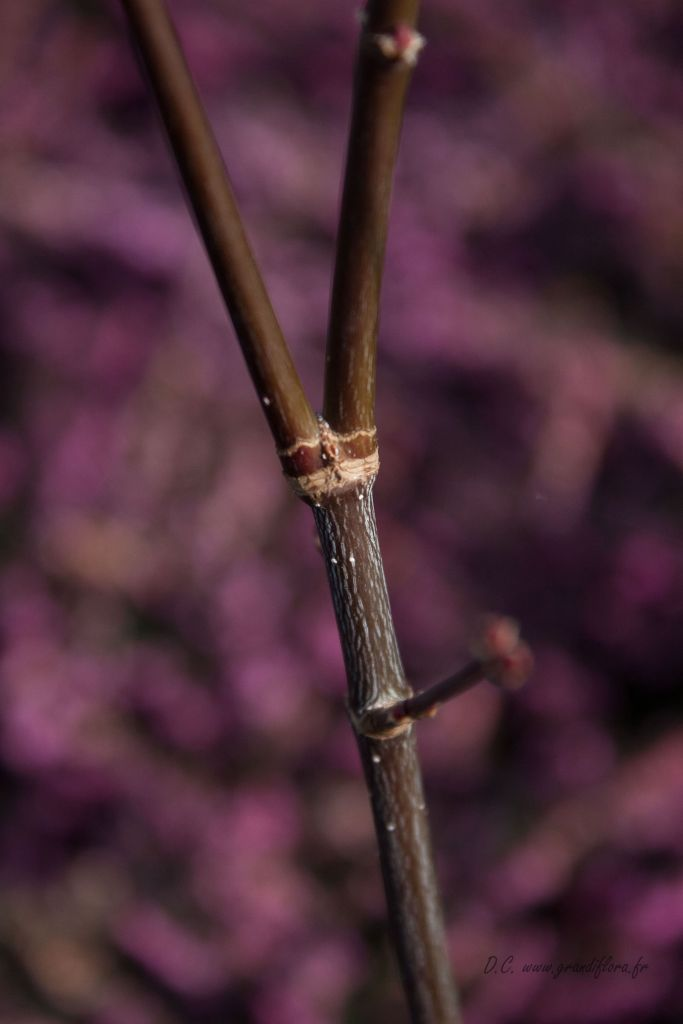 Acer palmatum \' Trompenburg \'