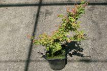 Acer palmatum \'Aka shigitatsu sawa\'