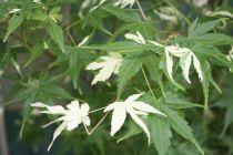 Acer palmatum \'Asahi zuru\'